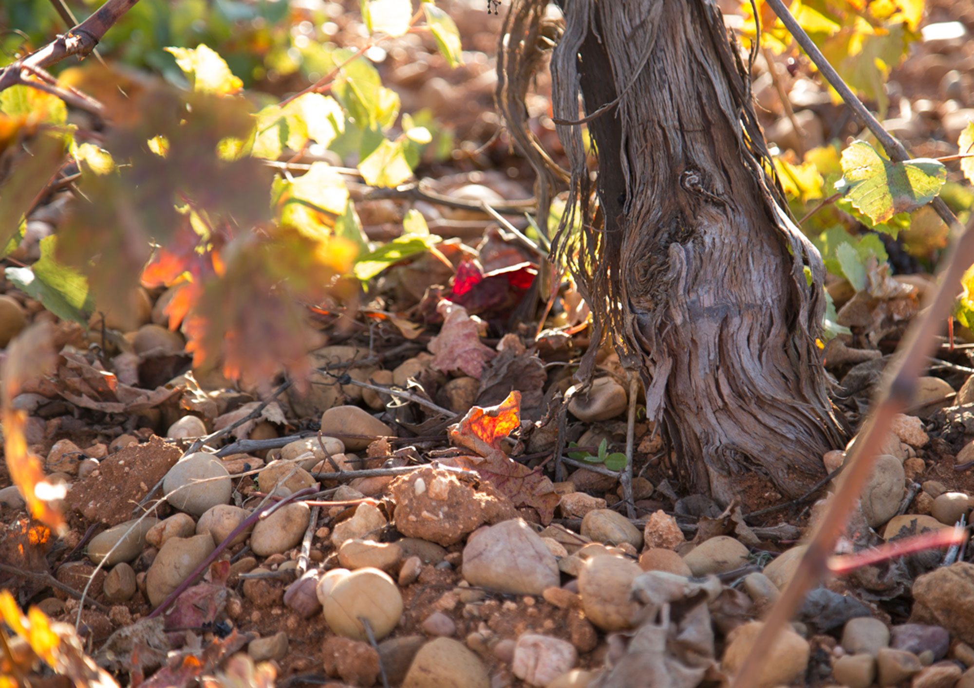 VITICULTURE ROOTED IN THE VALUES OF THE SOIL